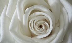 79. White Rose Sensual.jpg
