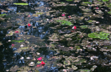 98. Monet Flowers in Pond.jpg